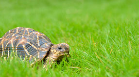 Indian star tortoise on a home lawn Royalty Free Stock Photos