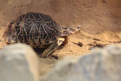 Indian star tortoise Royalty Free Stock Photo