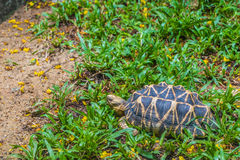The Indian star tortoise Royalty Free Stock Photo