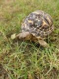 Indian Star Tortoise royalty free stock photos