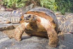 Indian Star Tortoises - Geochelone elegans royalty free stock images