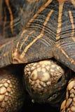 Indian Starred Tortoise stock photos