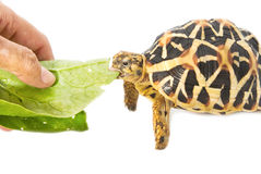 Indian Starred Tortoise eating vegetable Stock Photo