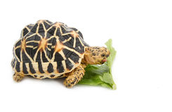 Indian Starred Tortoise eating vegetable Stock Photos