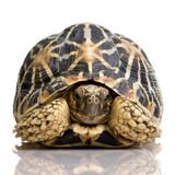 Indian Starred Tortoise - Geochelone elegans royalty free stock photography