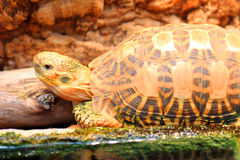 Indian starred tortoise Stock Photography
