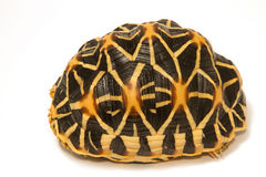 Indian Starred Tortoise Royalty Free Stock Photo