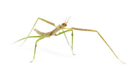 Indian Stick Insect, Carausius morosus Stock Image