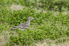 Indian Stone-curlew - Burhinus indicus royalty free stock photos