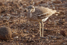 Indian Stone-curlew or Indian Thick-knee Stock Photos