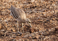 Indian Stone-curlew or Indian Thick-knee Royalty Free Stock Photos