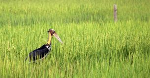 Great Stork Royalty Free Stock Photo