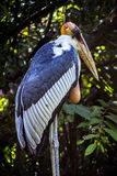 Indian Stork stock images