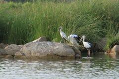 Indian Stork Stock Image