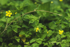 Indian strawberry, mock strawberry flowering tendrils in the bac Royalty Free Stock Image