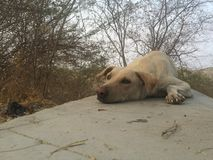 Indian Street Dog Stock Photos