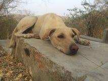 Indian Street Dog Royalty Free Stock Photos