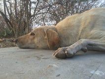 Indian Street Dog Royalty Free Stock Photo