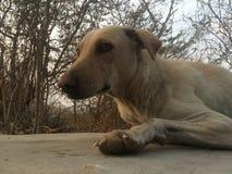 Indian Street Dog Royalty Free Stock Image