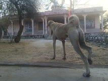 Indian Street Dog Stock Photography
