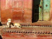 Indian street dog. In Bikaner Stock Photo