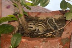 Indian striped squirrel, Alwar, Rajasthan, India Royalty Free Stock Images