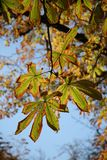 Indian summer. Autumn chestnut leaves Royalty Free Stock Images