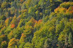 Autumn - hardwood forest changing colors Royalty Free Stock Image