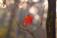 Indian summer. The beginning of autumn. In the forest, bright red maple leaf falling down, caught in the spider web. He remained hanging, reminding of the past Royalty Free Stock Photos