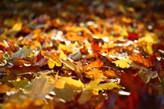 Indian summer in fallen leaves. The fallen-down bright leaves of a maple formed a continuous color carpet stock images