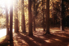 Indian summer  forest. Golden autumn forest at Indian summer Stock Photos