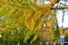 Indian summer. Golden autumn or `Indian bingo`. Branch of larch tree with yellowed, holcat emphasize a warm, clear autumn day stock photography