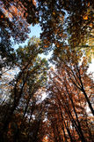 Indian summer golden-leaved trees Royalty Free Stock Images