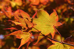 Indian summer Maple leaves Stock Photography
