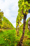 Indian Summer Vineyard. Indian Summer at the Pfalz royalty free stock photo
