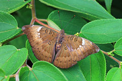 Indian Sunbeam Butterfly, Female Royalty Free Stock Image
