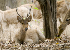 Indian Swamp Deer Male Stock Photo