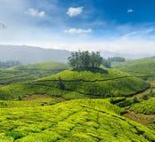 Tea plantations Stock Photos