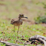 Indian Thick-knee Royalty Free Stock Photography