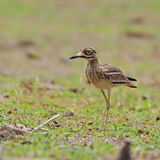 Indian Thick-knee Stock Photo