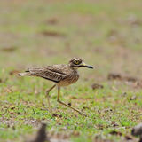 Indian Thick-knee Stock Photos