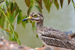 Indian Thick-knee bird Stock Photos