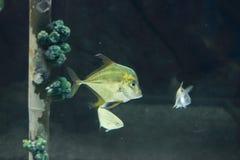 Indian threadfish Stock Photography