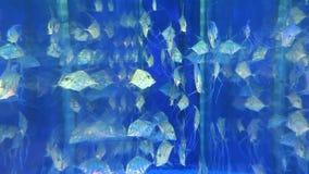 Indian threadfish stock footage