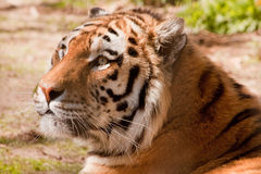 Indian Tiger Royalty Free Stock Photo