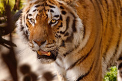 Indian Tiger. Face showing aggression close up Stock Photo