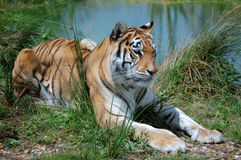 Indian Tiger. Laying by lake Stock Image