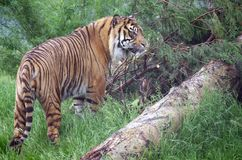 Indian Tiger. Indian Tger in Scrubland, Whole view Royalty Free Stock Photography