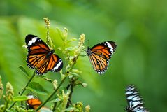 Indian tiger Butterfly in srilanka stock photography