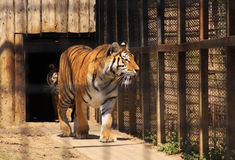 Indian tiger in cage. Walking Royalty Free Stock Photography